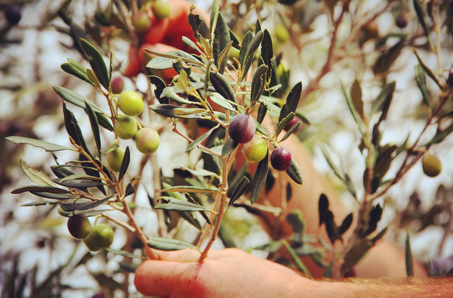 Olive Oil Tasting - Limestone Heritage